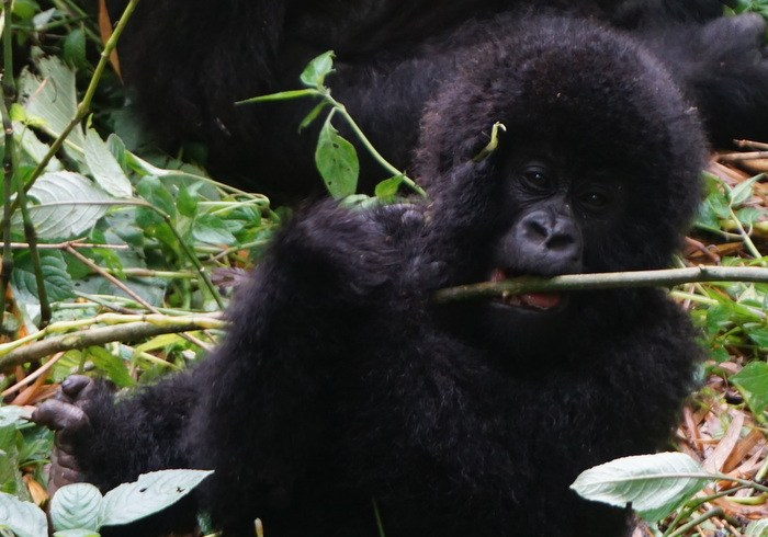 baby Mountain Gorilla Virunga National Park