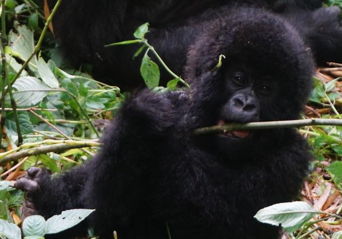 baby Mountain Gorilla Virunga National Park