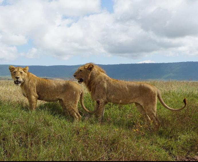Lions Serengeti Ngorongoro